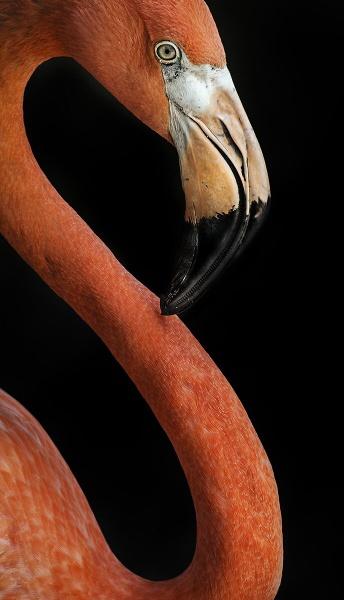 Flamingo by BydoR9
