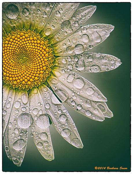 Raindrops on Daisy by Barjo