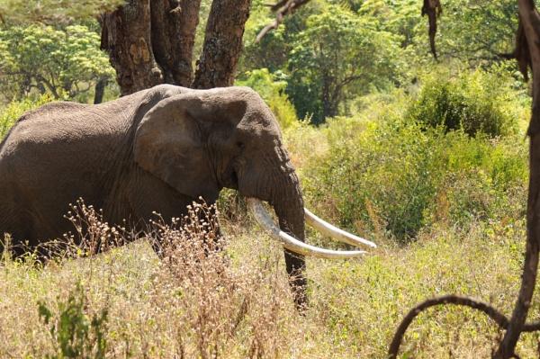 Ngorongoro Elephant by StuartDavie