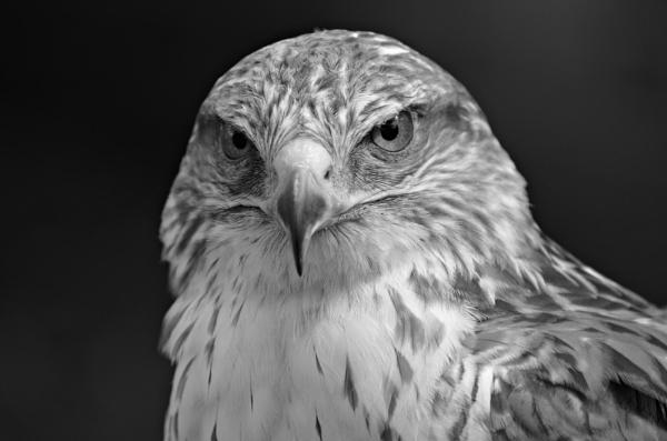 Bird of Prey by gwynn56