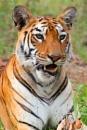 Tigress ....Portrait by bommalu