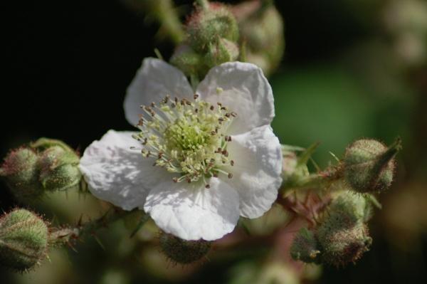 blossom by ianball