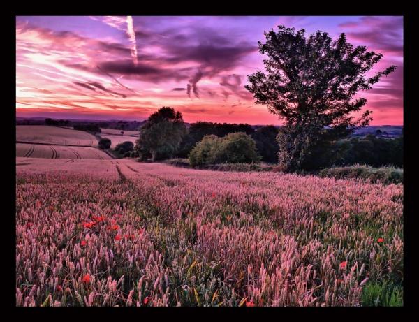 poppies in a corn field by c40uk