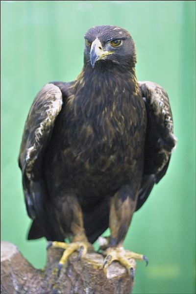 Golden Eagle by alancharlton