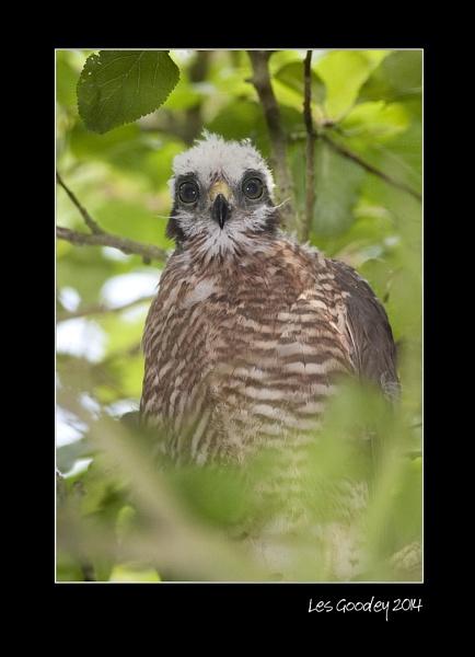 Sparrowhawk by lesgoodey