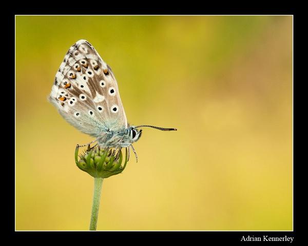 Chalk Hill Blue 2014 No 2 by tomcat