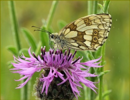 Female Marbled White on Knapweed