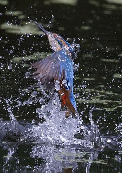 Kingfisher Splashes by NeilSchofield
