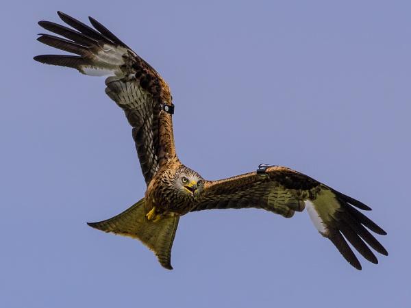 Gigrin Red Kite by Kruger01