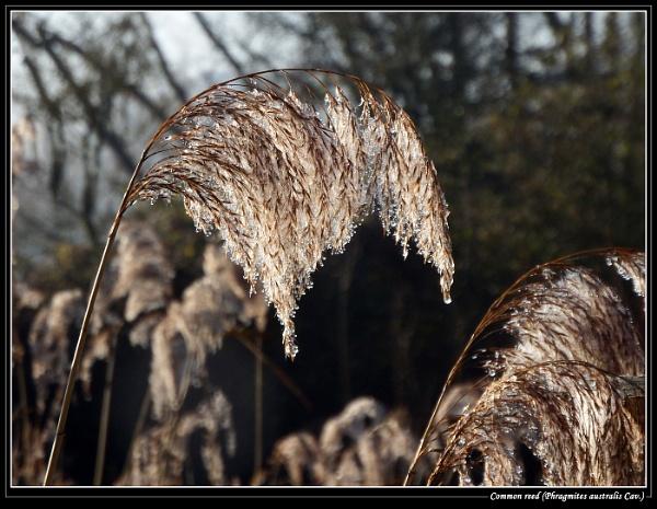 Common reed (Phragmites australis Cav.) by Ray42