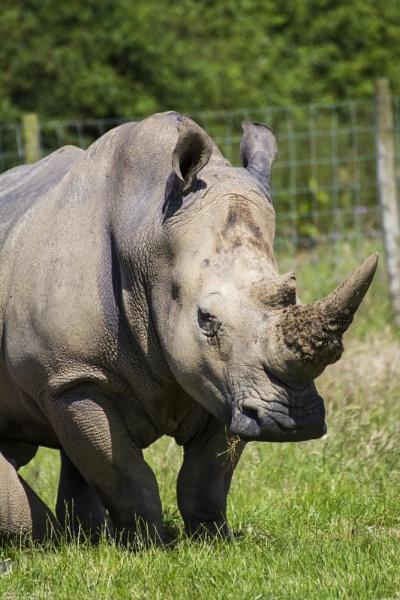Portrait of a Rhino by WorldInFocus