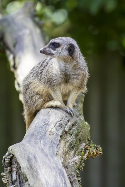 Meerkat by WorldInFocus
