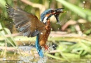 Kingfisher with fish by StephenDurrant