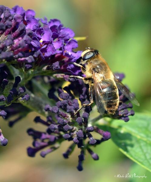 Amber Nectar by linda68