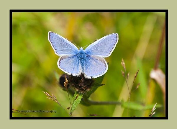 Holly Blue (Celastrina argiolus) by SmartAS
