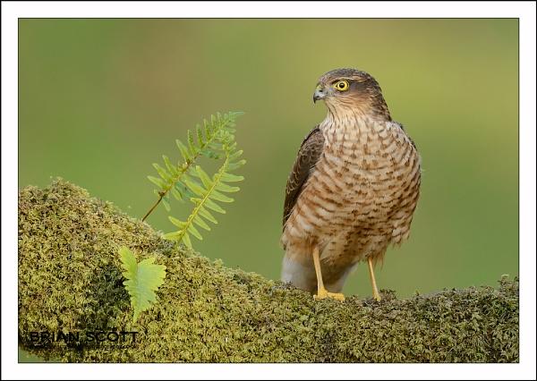 Sparrowhawk by Brian_Scott