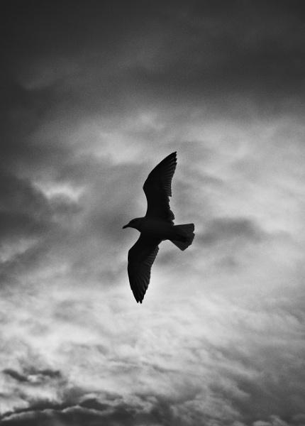 Seagull Silhouette by bugdozer
