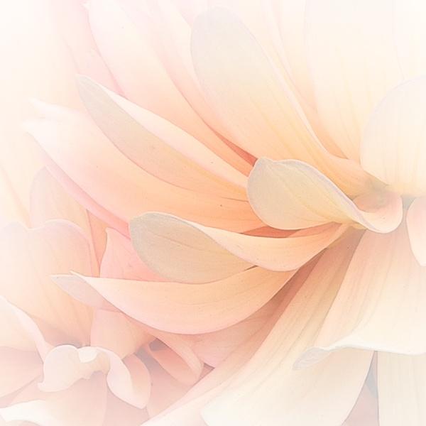 Dahlia Petals by iscaphotos21