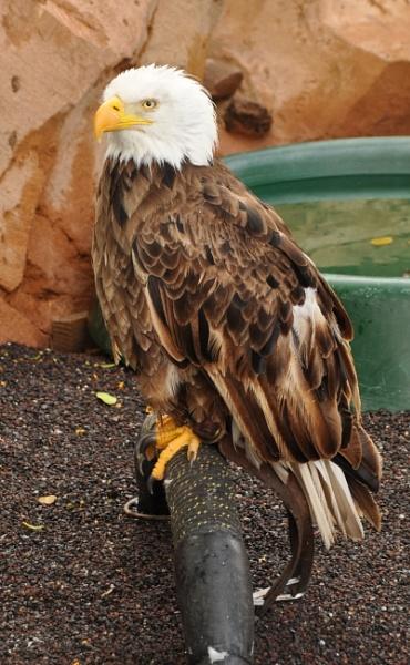 Bald Eagle by kirkoid