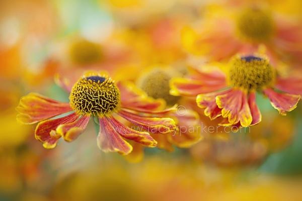 Helenium \'Sahin\'s Early Flowerer\' by jackyp