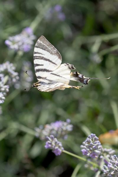 Papillon by livinglevels