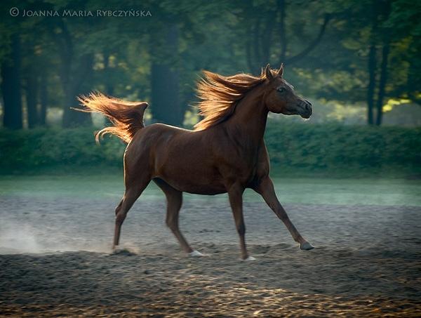 Arabian horse (Palatina) by missmoon