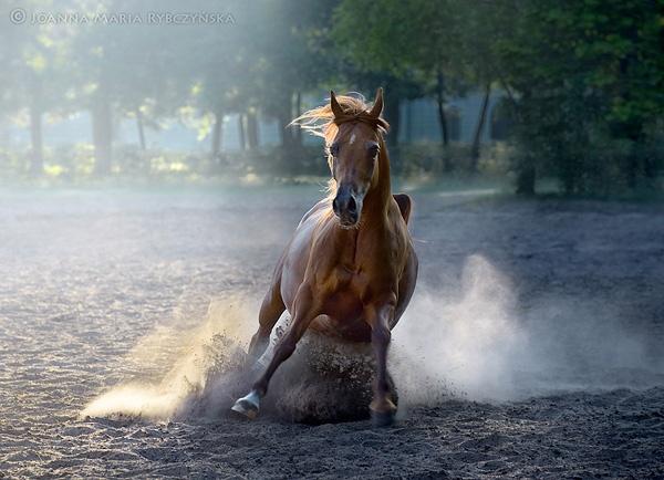 Arabian Horse - Palatina by missmoon