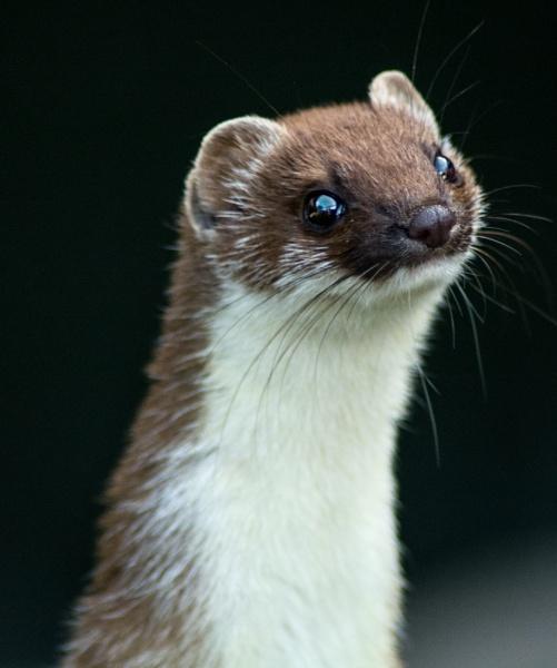 Weasel by ChristopherA