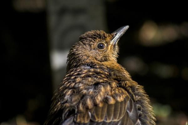 Blackbird by JordanJackson
