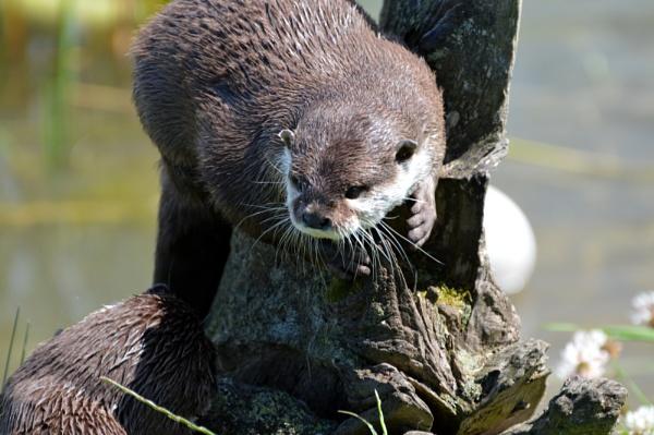 Asian Otter by KenQuinn