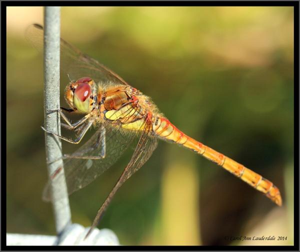 Dragonfly on barbed wire - taken at Heysham Nature Reserve by CarolAnnLauderdale