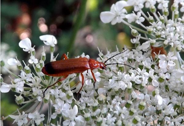 Cardinal Beetle by Crespo
