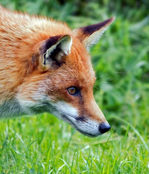Red Fox by Myathebirdwatcher999