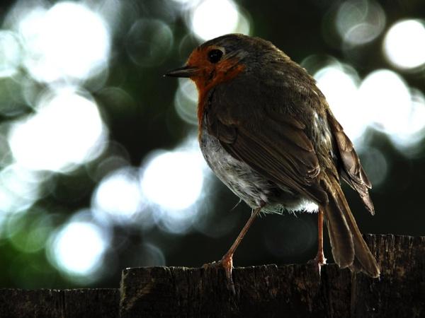 Robin by NatalieCHurrell