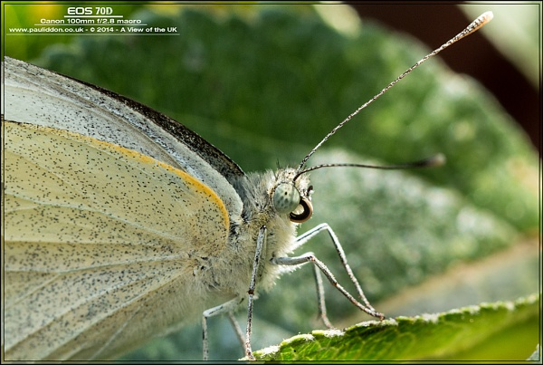Cabbage White Butterfly by Paul_Iddon