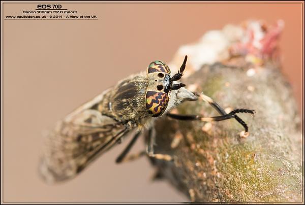 Notch-horned Cleg! by Paul_Iddon