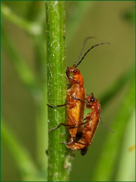 Soldier Beetles-Mating Pair. by Badgerfred