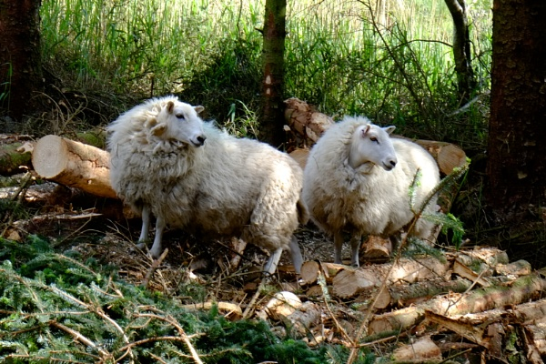 ""\""""Forest Sheep"""" by Willmer""600|400|?|en|2|f7f8fea49f375f1651e12c2971dab011|False|UNLIKELY|0.2887064814567566