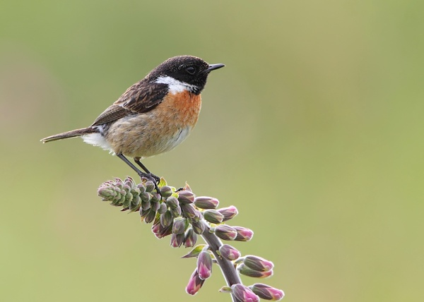 Male Stonechat by Karen_Summers