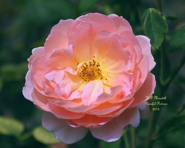 Dagmar Hartopp / rose by 2slow