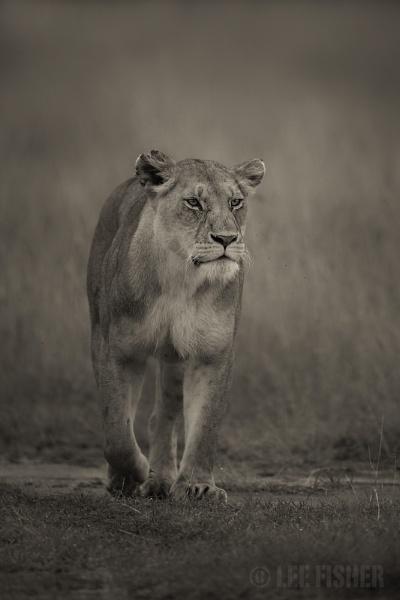 BIG CAT by LeeFisher
