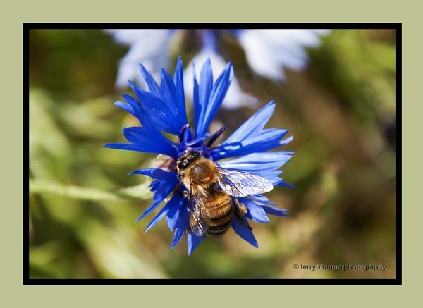 Bee on a Cornflower by SmartAS