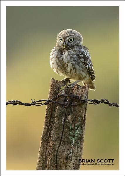 Juvenile Little Owl by Brian_Scott