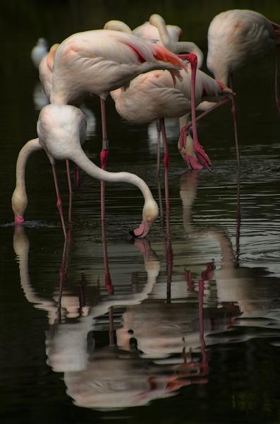 Flamingos by Audran