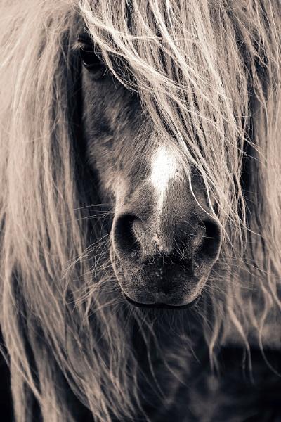 Shetland Pony Portrait by ArtofOrdinary