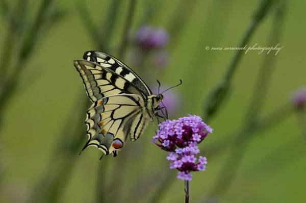 swallowtail & swallowtail by senn