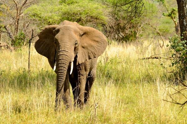 Serengeti Bull elephant by StuartDavie