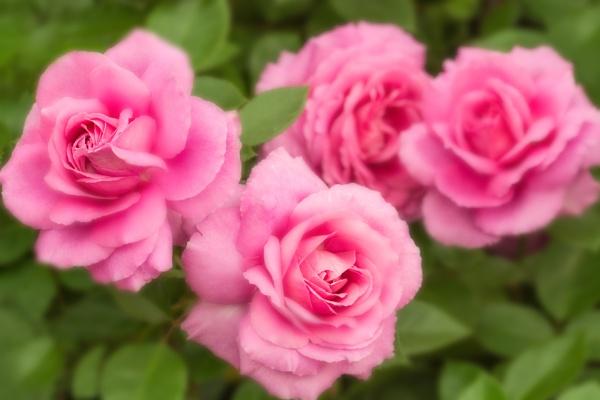 Dreamy Roses by WeeGeordieLass