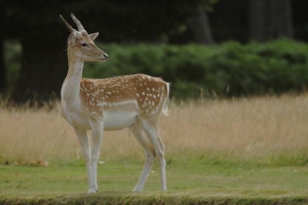 Fallow deer by Adamzy