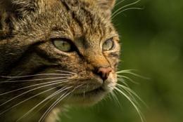 Wildcat 2